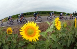 The peloton speeds past sunflowers on stage eighteen of the 2012 Tour de France